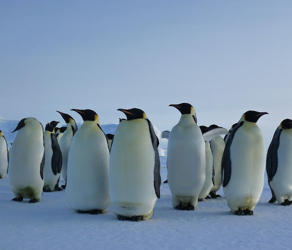 Emperor penguins in a group, ice in the background