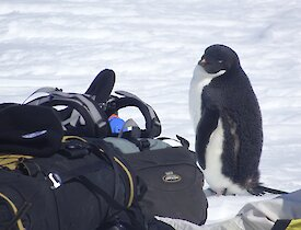 Penguin next to expeditioner's pack.
