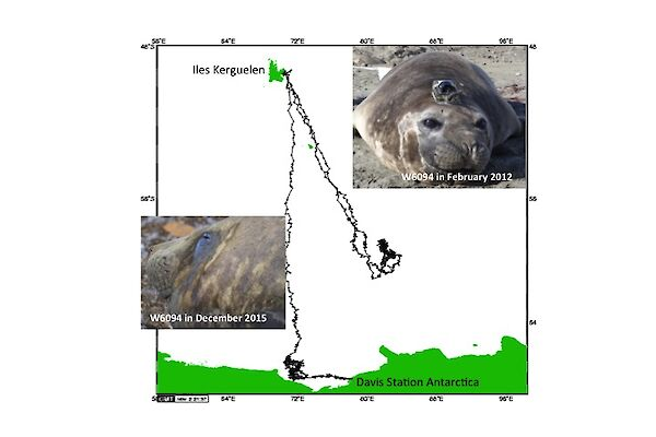An elephant seal that was previously tagged at Davis and returned