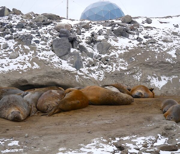 Group of elephant seals all bunched up together sleeping surrounded with lightly snow covered ground.