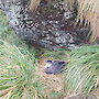 Northern giant petrel adult bird on the nest with an egg in September