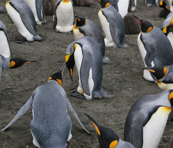 King penguin with egg on its feet, surrounded by other penguins in various states