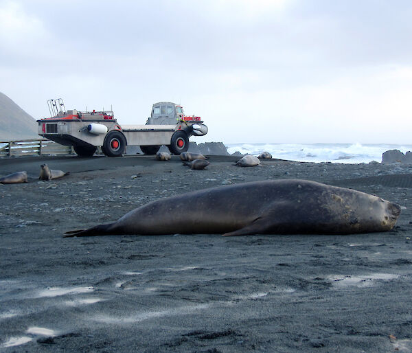 Elephant seal in foreground and amphibious vehicle to rear