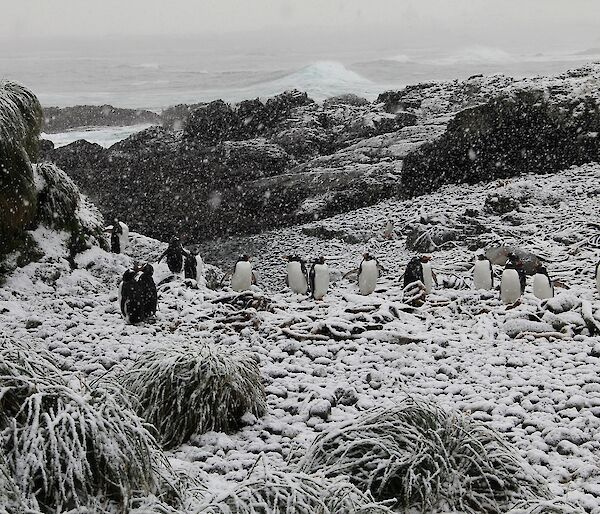 Gentoo penguins in the snow at Eagle Bay