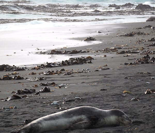 Leopard seal laying on the beach