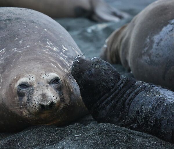 Black furry elephant seal pup with adult seal