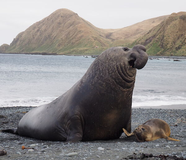 Male elephant seal about to hold female down
