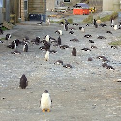 Gentoo penguin chicks fill the road, with one looking directly at the camera