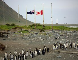 Macquarie Island flags half mast with a large amount of penguins around the base