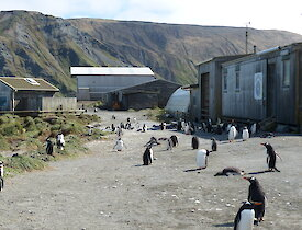 Gentoo penguins gathered outside a small timber building