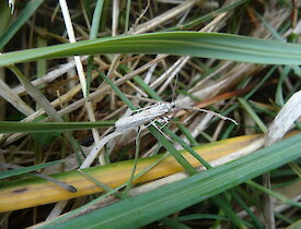 A long, thin moth sits on a piece of grass