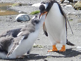 Hungry gentoo chick is fed by a parent, the chick dwarfs the parent in size