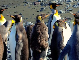 King penguins moulting stand out amongst a crowd of adults on a sunny day
