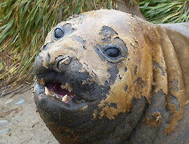 Elephant seal moulting, a close up of the face showing clumps of short hair clinging on to the seal