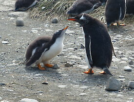 Gentoo chick almost fully grown looks up at another gentoo penguin