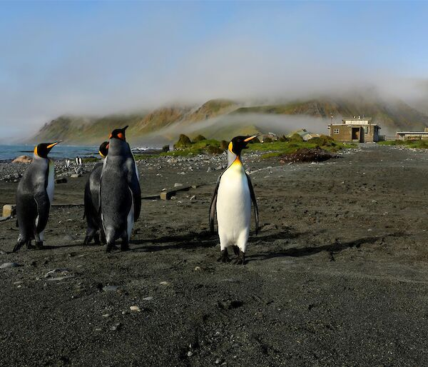 Low cloud on the plateau with King Penguins in foreground