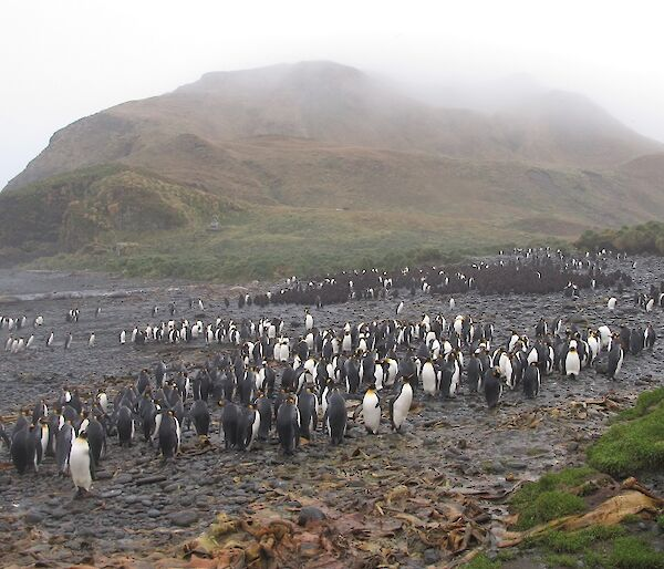 The king penguin colony at Green Gorge