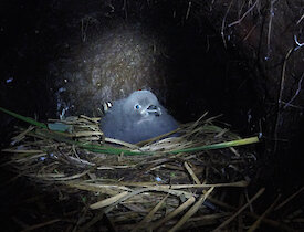 Grey petrel chick on nest