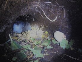 An adult and chick on the nest in the burrow