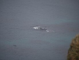 The whale was identifiable due to the size and lack of dorsal fin