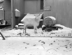 Black and white image of goat on the snow with wall of station building behind
