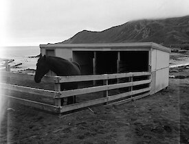 Horse and horse stables at Macquarie Island station