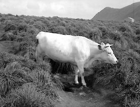 Black and white image of white cow eating the tussock grass