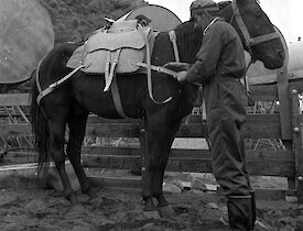 Horse handler saddling up packhorse in 1970