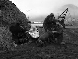 Black and white image of four men with three pigs next to large mound of tussock grass