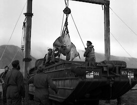 Cow being lifted by gantry crane from amphibious vehicle attending by group of seven men