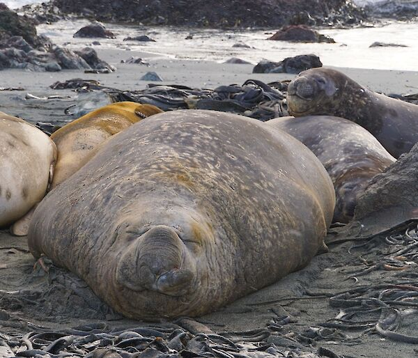Large male elephant seal napping on the beach