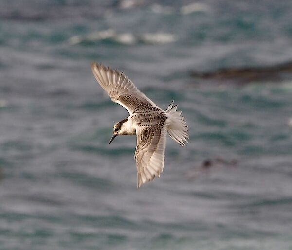 Juvenile tern on the wing