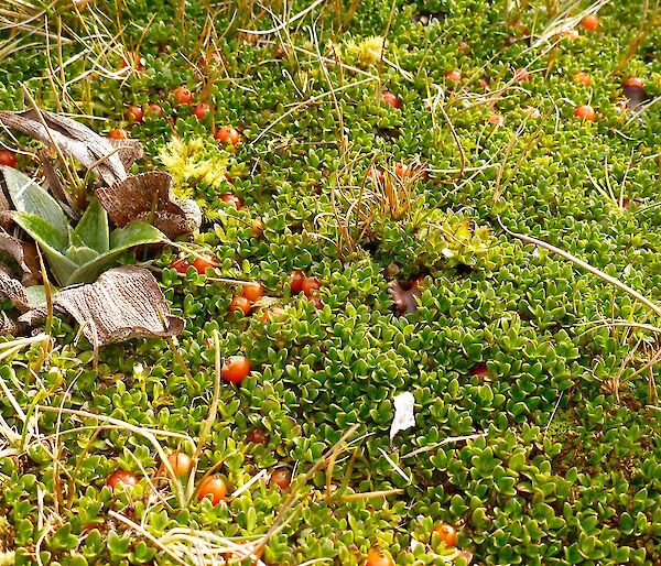 A picture of some red berries among the green vegetation which are quite elusive
