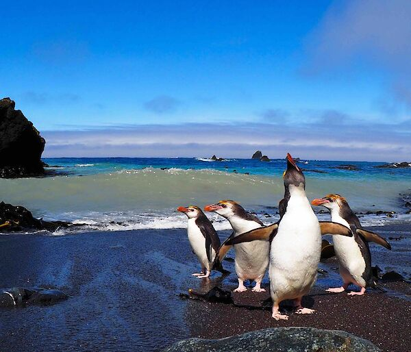 Royal penguins standing on the beach in the sunshine
