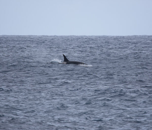 A picture of a Orca with its fin and body out of the water spotted off North Head