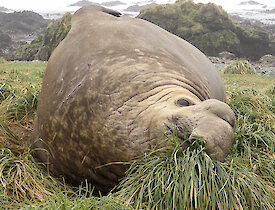 One of the Beachmaster Elephant Seal lying on tussock before the hectic breeding season gets into full swing