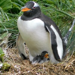 Gentoo penguin with a small hungry chick