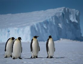 Adult Emperor penguins with their iceberg backdrop