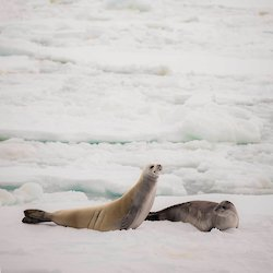 Two crabeater seals on the sea ice.