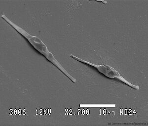 Scanning electron micrograph of cultured phytoplankton for feeding to the krill: Phaeodactylum tricornutum