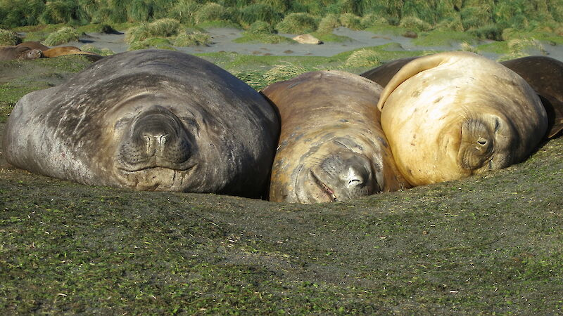 Three southern elephant seals sleeping