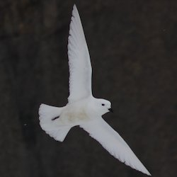 Snow petrel flying with wings spread.