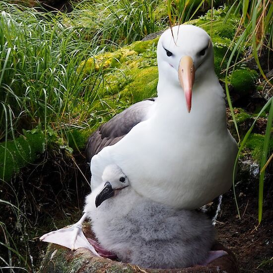 Black browed albatross chick and parent on nest