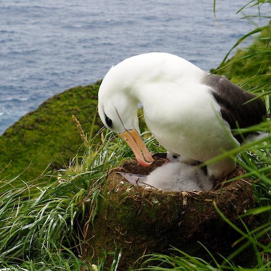 Black browed albatross chick with parent