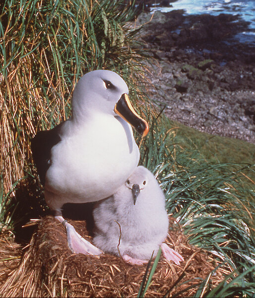 Grey-headed albatross and chick at Petrel Peak