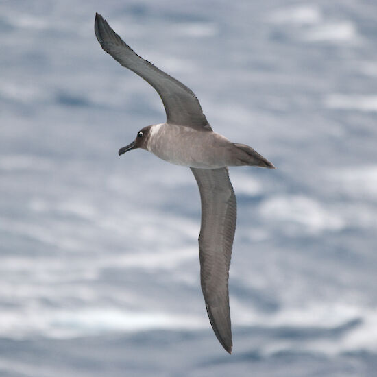 Light-mantled sooty albatross, soaring off Syowa station