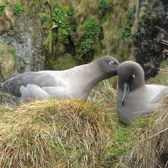 Courtship behaviour by light-mantled sooty albatross