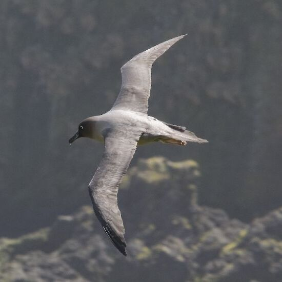 Light-mantled sooty albatross over Macquarie Island