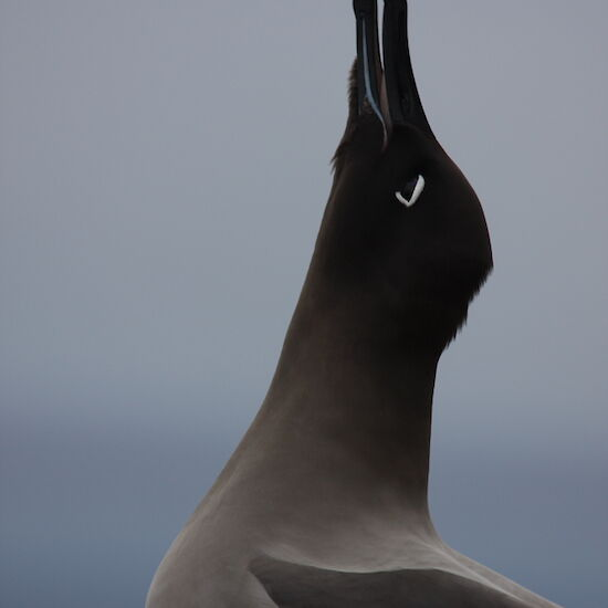 Sooty albatross calls out to its mate