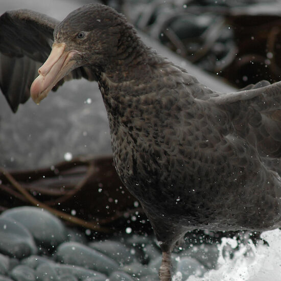 Northern Giant Petrel at the waters edge